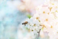 Api di volo nell'aria ai fiori di ciliegia alla ricerca del nettare del miele Un simbolo della molla Fotografia Stock