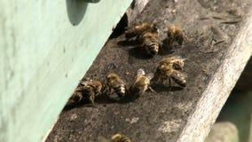 2 in 1, in api e nella fila degli alveari sul pascolo stock footage