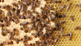 Api, le loro larve e bozzoli, bozzoli delle regine delle api video d archivio