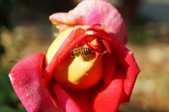 Api nei fiori della rosa Immagine Stock
