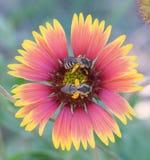 Api su un fiore Fotografia Stock Libera da Diritti