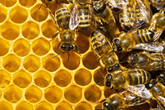 Api sui honeycells Immagini Stock