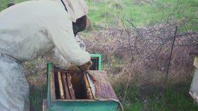 Api sul favo L'apicoltore del raccolto del miele rimuove delicatamente le api dalla struttura macro dell'arnia HD video d archivio
