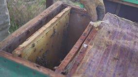 Api sul favo L'apicoltore rimuove delicatamente le api dalla struttura macro dell'arnia HD stock footage