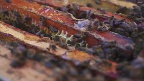 Api sul favo L'apicoltore rimuove delicatamente le api dalla struttura macro dell'arnia Movimento lento archivi video