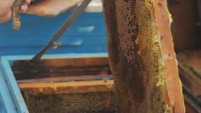 Api sul favo Signora dell'apicoltore del raccolto del miele rimuove delicatamente le api dalla struttura video d archivio