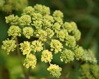 Apiaceae Στοκ Φωτογραφία