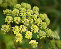 Apiaceae Stock Photography