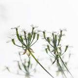 Apiaceae plant Royalty Free Stock Photos