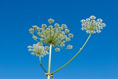 Apiaceae (Umbelliferae). Royalty Free Stock Photography