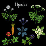Apiales plant order Stock Images