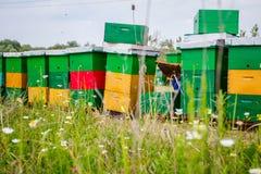 Apiarist, beekeeper проверяет пчел на рамке сота деревянной Стоковое Фото