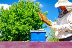 Apiarist, beekeeper is checking bees on honeycomb wooden frame. Beekeeper is looking swarm activity over honeycomb on wooden frame, control situation in bee royalty free stock photos