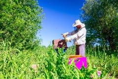 Apiarist, beekeeper is checking bees on honeycomb wooden frame. Beekeeper is looking swarm activity over honeycomb on wooden frame, control situation in bee royalty free stock images
