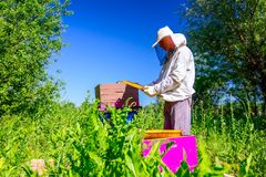 Apiarist, beekeeper is checking bees on honeycomb wooden frame. Beekeeper is looking swarm activity over honeycomb on wooden frame, control situation in bee stock photography
