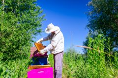 Apiarist, beekeeper is checking bees on honeycomb wooden frame stock images