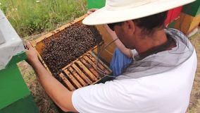 Apiarist, beekeeper is checking bees on honeycomb wooden frame. Beekeeper is taking out the honeycomb on wooden frame to control situation in bee colony stock video footage