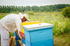 Apiarist, beekeeper is checking bees on honeycomb wooden frame stock image