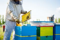 Apiarist, beekeeper is checking bees on honeycomb wooden frame stock photography