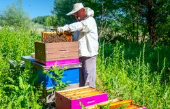 Apiarist, beekeeper is checking bees on honeycomb wooden frame. Beekeeper is taking out the honeycomb on wooden frame to control situation in bee colony royalty free stock photos