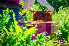Apiarist, beekeeper is checking bees on honeycomb wooden frame. Beekeeper is taking out the honeycomb on wooden frame to control situation in bee colony stock photos