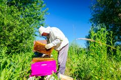 Apiarist, beekeeper is checking bees on honeycomb wooden frame. Beekeeper is taking out the honeycomb on wooden frame to control situation in bee colony stock photo