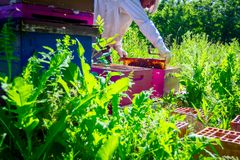 Apiarist, beekeeper is checking bees on honeycomb wooden frame. Beekeeper is taking out the honeycomb on wooden frame to control situation in bee colony royalty free stock photo