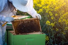 Apiarist checking the hives Stock Photos
