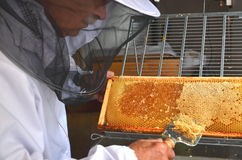 Apiarist detaching honeycomb during honey harvest Royalty Free Stock Photo