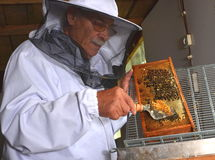 Apiarist detaching honeycomb during honey harvest. In apiary Royalty Free Stock Images