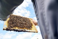 Apiarist Holding Bees royalty free stock photo
