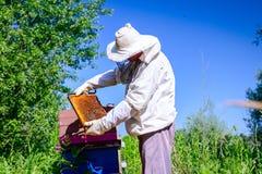 Apiarist, pszczelarka sprawdza pszczoły na honeycomb drewnianej ramie fotografia stock