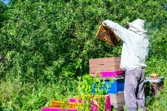 Apiarist, pszczelarka sprawdza pszczoły na honeycomb drewnianej ramie obrazy stock