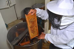 Apiarist putting honeycomb into honey extraction device during honey harvest. In apiary Royalty Free Stock Photos