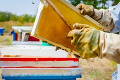 Beekeeper is using bristle to get rid of bees. Apiarist sweeps out bees from honeycomb with brush to extract honey, harvest time Royalty Free Stock Photo