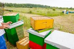 Apiarist, trabajo sin guantes del apicultor con las abejas Foto de archivo libre de regalías