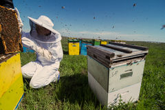 Apiarist watching over his bee hives Stock Image