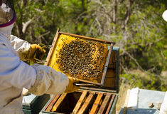 Apiarist at work. Apiarist in protective work wear holding a beehive Royalty Free Stock Photography