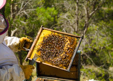 Apiarist at work. Apiarist in protective work wear holding a beehive Stock Image