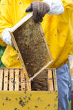 Apiarist. Working with bees and hives Royalty Free Stock Image