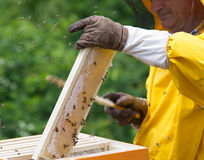 Apiarist working. With bees and hives Royalty Free Stock Photos