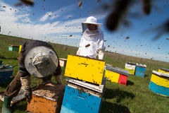 Apiarists working on the field with beehives. Horizontal photo of beekeepers in white protection working on their bee hives on a green field Stock Photos