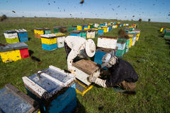 Apiarists working on the field with beehives. Horizontal photo of beekeepers in white protection working on their bee hives on a green field Royalty Free Stock Photo