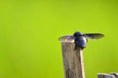 apiarius ścigi coleoptera trichodes Obrazy Royalty Free