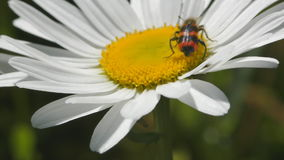 Apiarius Trichodes άσπρο camomile φιλμ μικρού μήκους