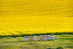 Apiary. Yellow Rapeseed Field With Apiary royalty free stock images