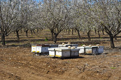 Apiary in Almond Garden Royalty Free Stock Image