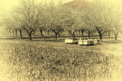 Apiary in Almond Garden Stock Images