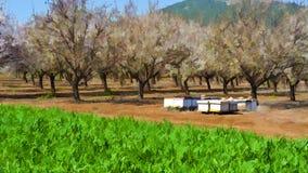 Apiary in Almond Garden Stock Photo