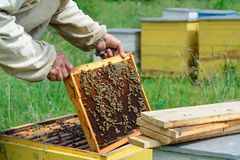 Apiary. The beekeeper works with bees near the hives. Apiculture. Apiary. The beekeeper works with bees near the hives. Apiculture royalty free stock images